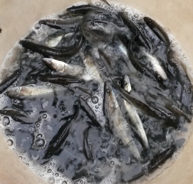 2016_04 Fischbesatz 2